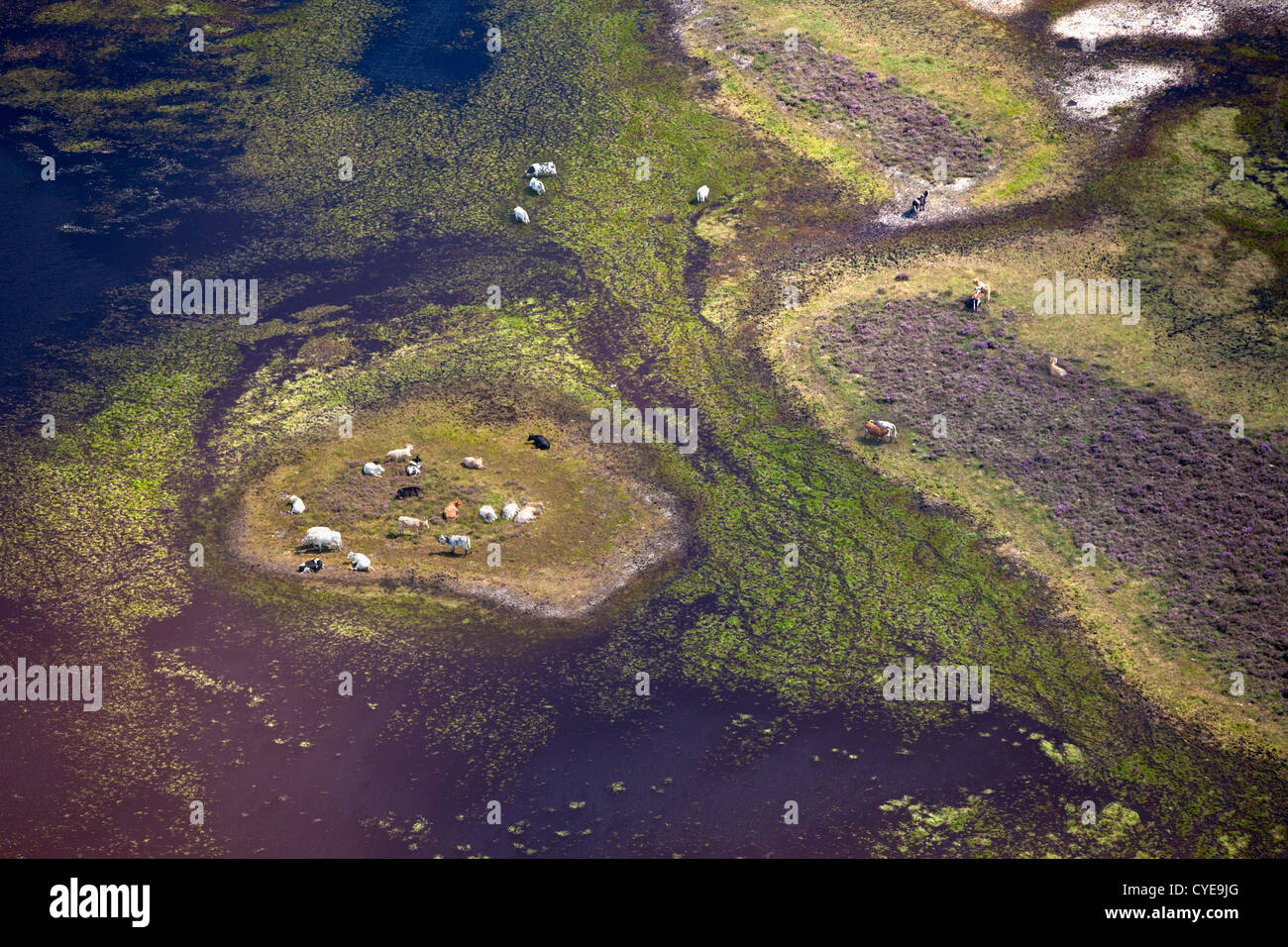The Netherlands, Dwingeloo, Heath land called: Dwingelderveld. Cows ruminating on island in shallow  pool. Aerial. - Stock Image