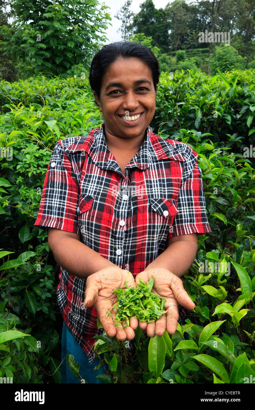 Woman who had been tea picking holding some crushed tealeaves, Sri lanka Stock Photo