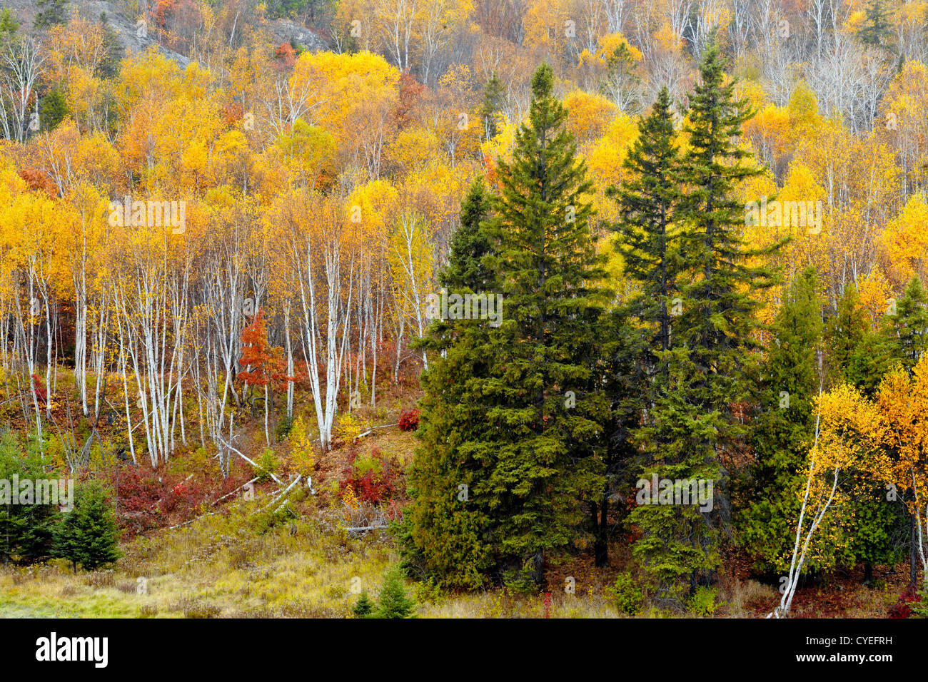Spruces, birch and aspen on hillside in Junction Creek Valley in autumn, Greater Sudbury, Ontario, Canada - Stock Image
