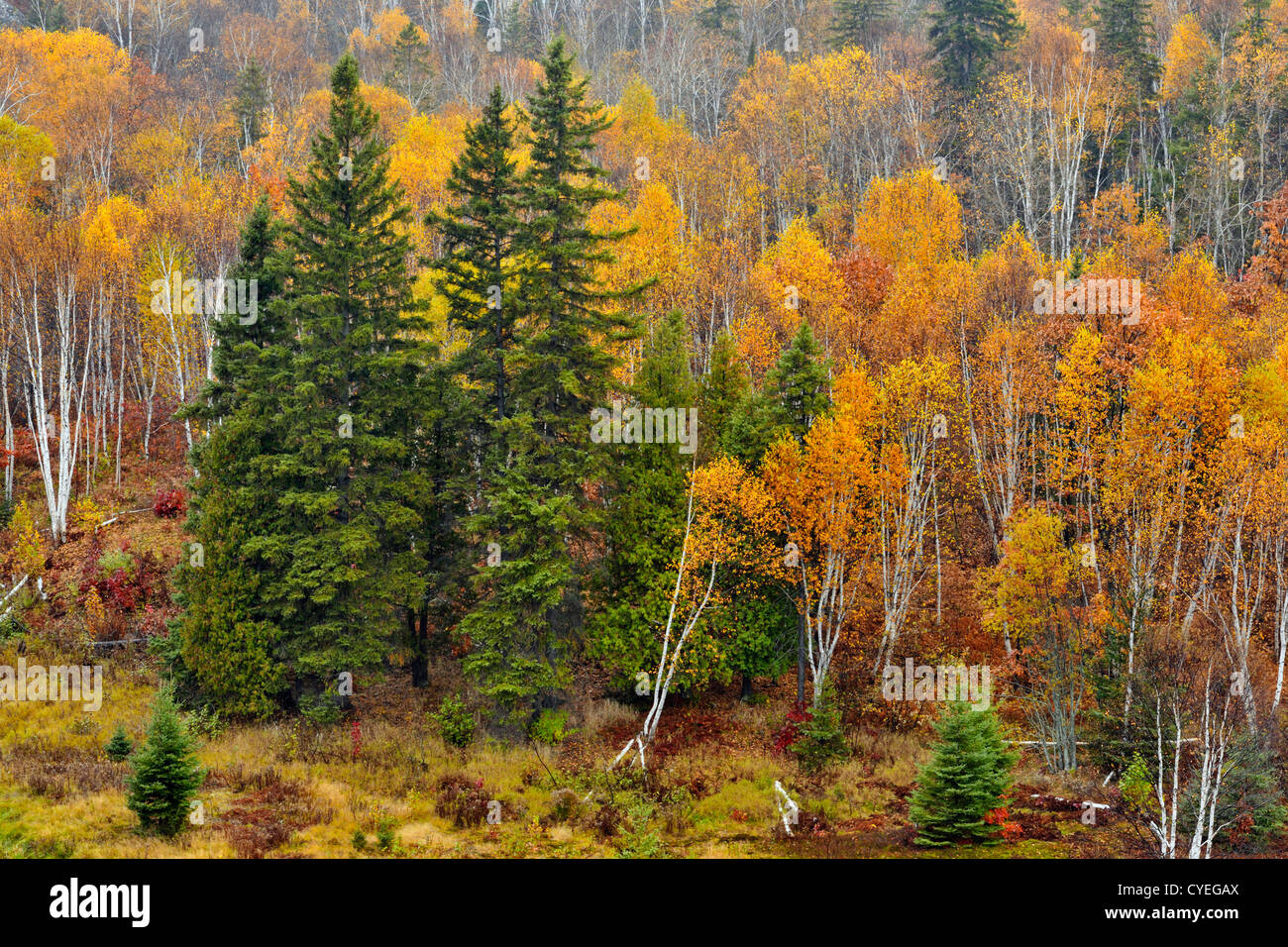 Birches, spruces and aspens on a hillside in late autumn, Greater Sudbury, Ontario, Canada - Stock Image