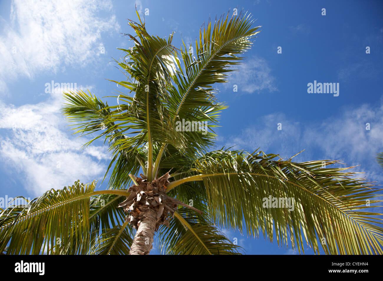 palm tree against blue sky islamorada florida keys usa - Stock Image