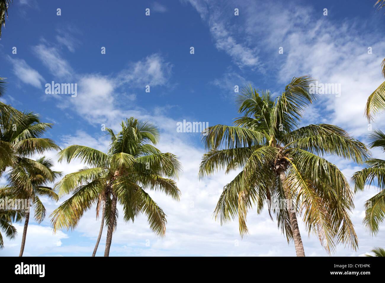 palm trees against blue sky islamorada florida keys usa - Stock Image