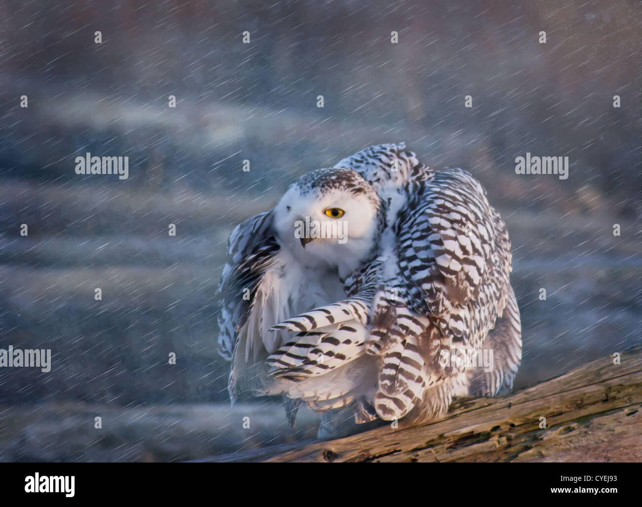 Snowy Owl hunched against blowing snow - Stock Image