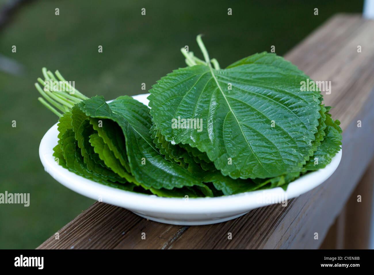 Sesame leaves on plate (Perilla frutescens) - Stock Image