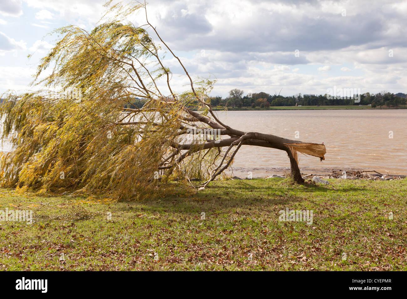 Wind damaged willow tree Stock Photo