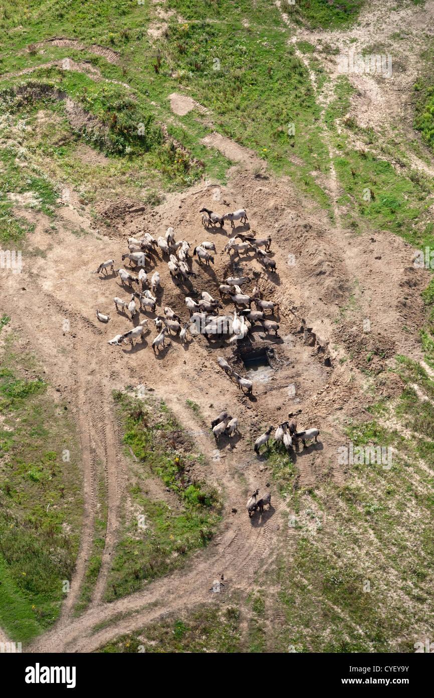 The Netherlands, Millingen aan de Rijn, Nature park called Kekerdomschewaard. Konik horses gathering together. Aerial. - Stock Image