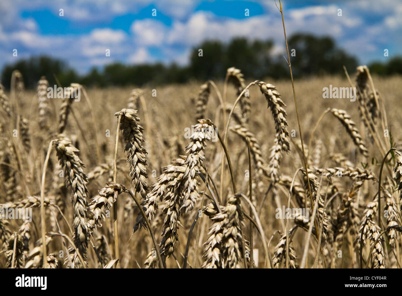 Field of wheat on claudy sky background Stock Photo