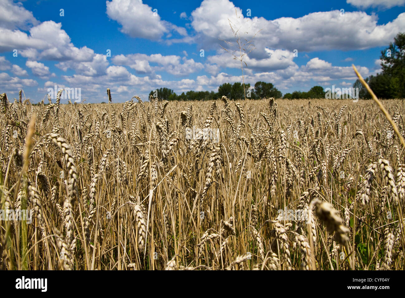 Field of wheat and claudy blue sky background Stock Photo