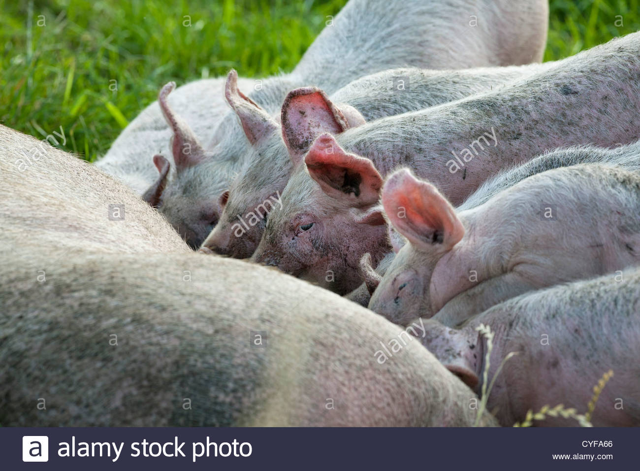 The Netherlands, Kortenhoef, Piglets drinking. - Stock Image
