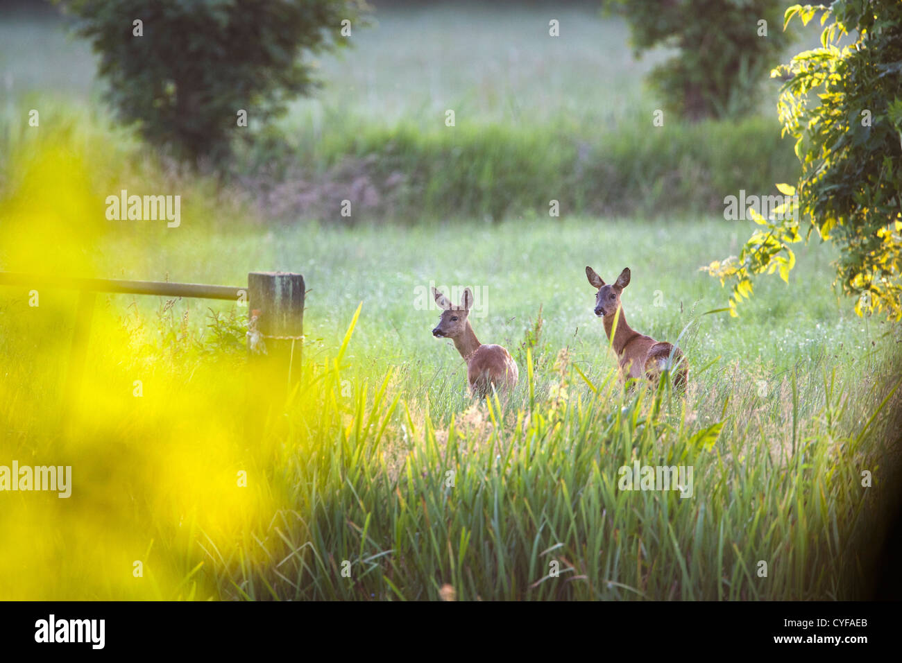 The Netherlands, 's-Graveland, Couple of roe in the rural estate area called Spanderswoud. - Stock Image