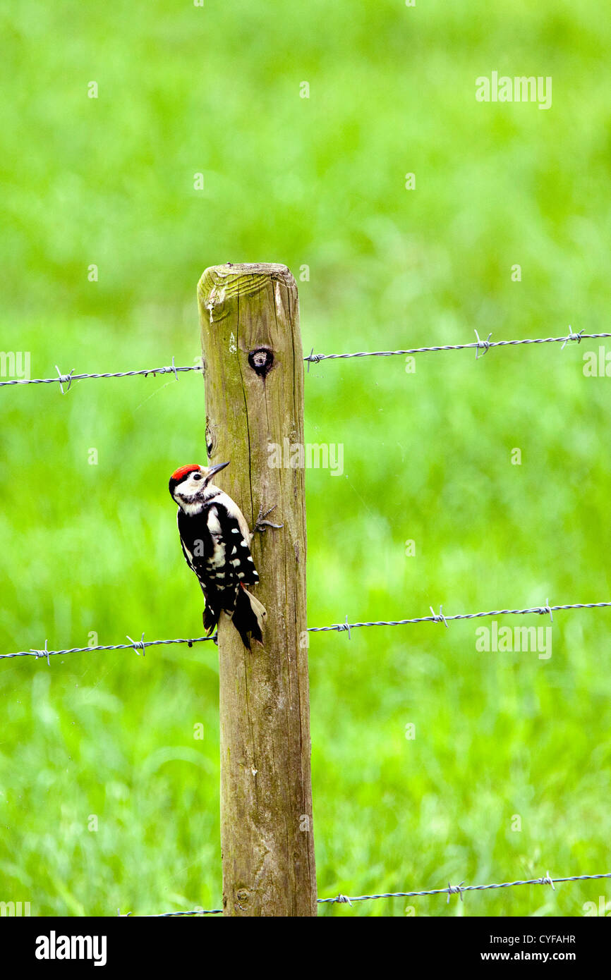 The Netherlands, 's-Graveland, Middle Spotted Woodpecker (Dendrocopos medius) in the rural estate area called Spanderswoud. Stock Photo