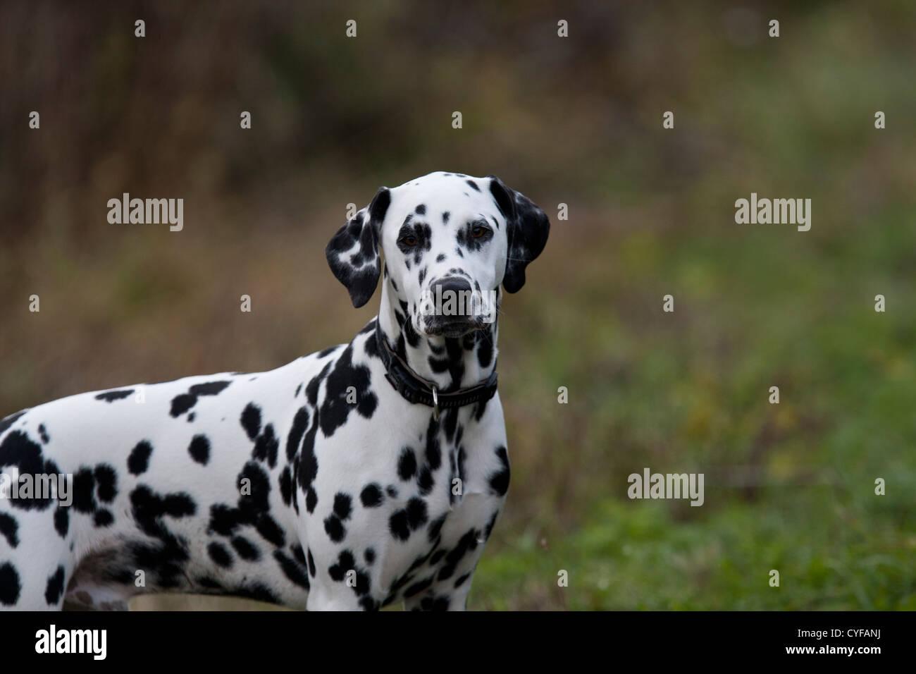 Dalmatian male - Stock Image