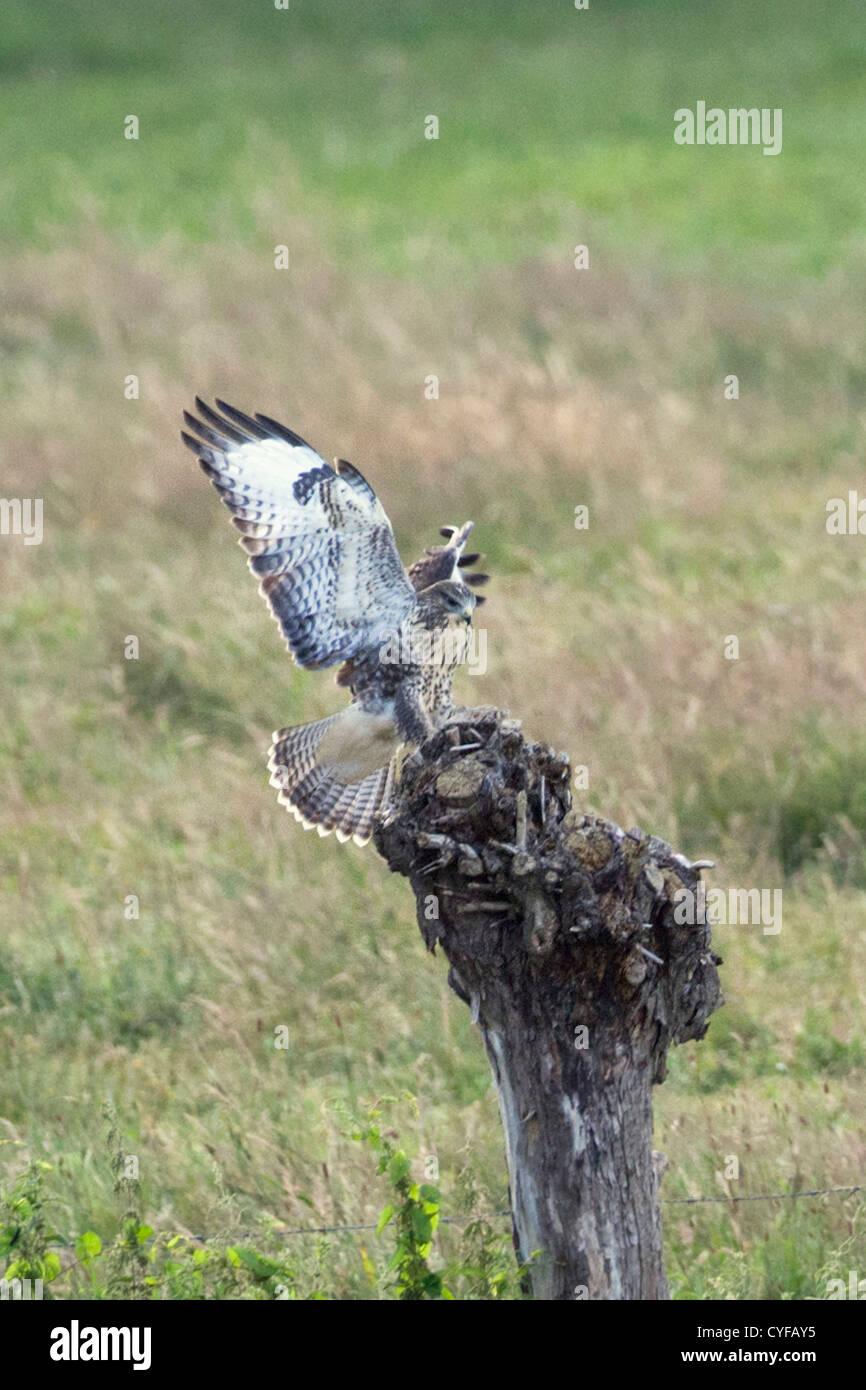 The Netherlands, 's-Graveland, Common Buzzard (Buteo buteo). - Stock Image