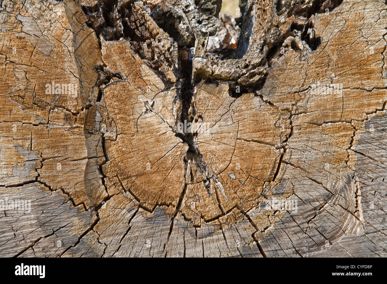 old stem and wet rot - Stock Image