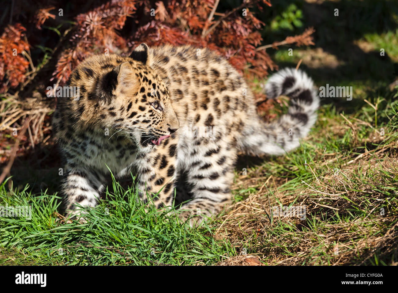 Cute Baby Amur Leopard Cub Looking Over Shoulder Panthera Pardus Orientalis - Stock Image