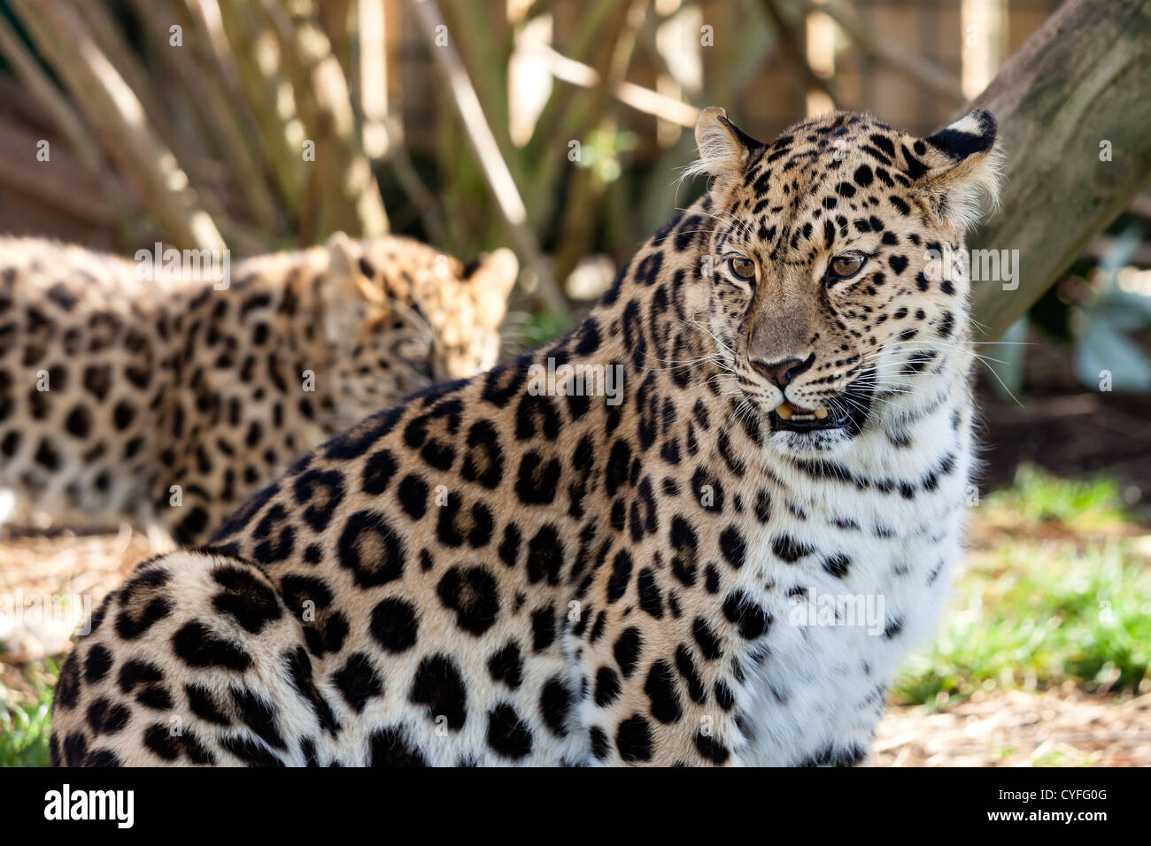 Mother Amur Leopard Protecting Cub in the Background Panthera Pardus Orientalis - Stock Image