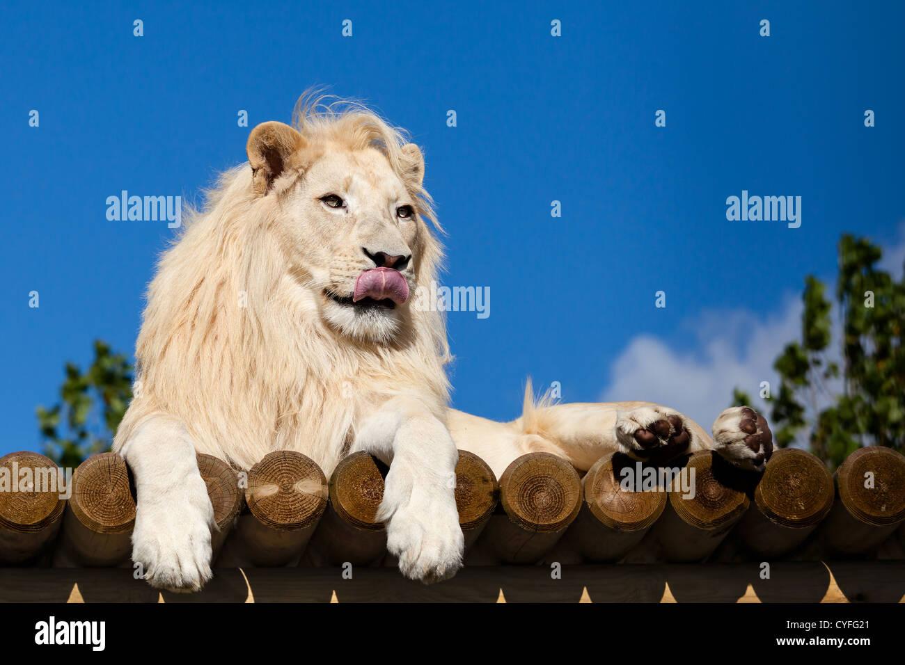 White Lion on Wooden Platform Licking Nose Panthera Leo - Stock Image