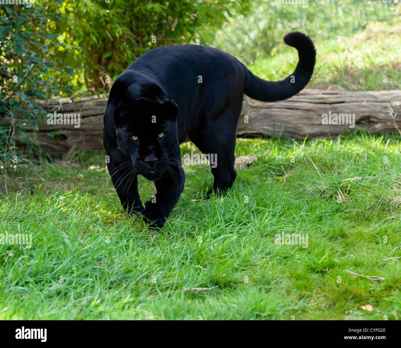 Black Jaguar Growl: Black Jaguar Animal Stock Photos & Black Jaguar Animal