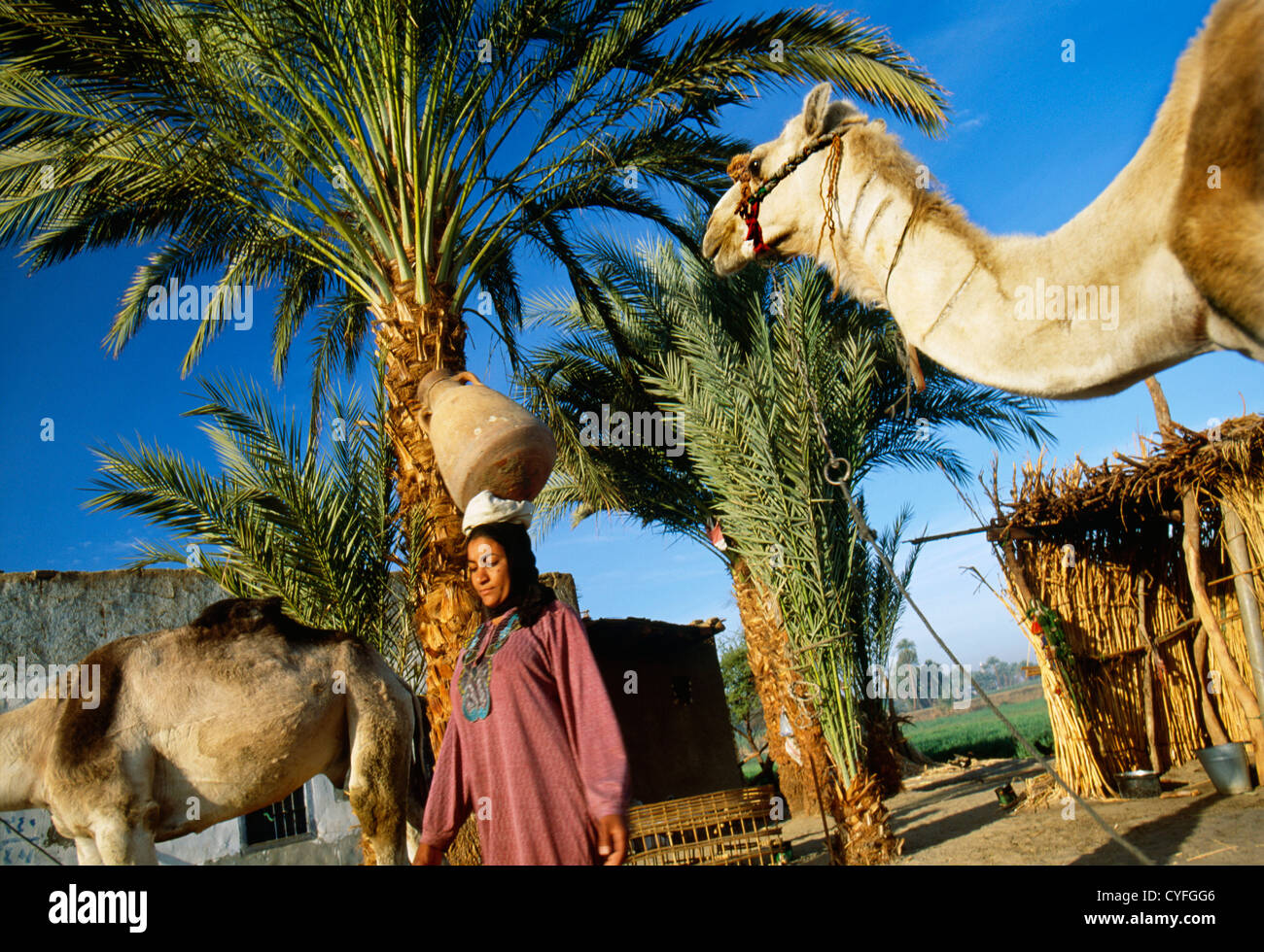 Egypt, Nile river, Luxor, West Bank, Woman leaving home to get water with jar from Nile river. Camels - Stock Image