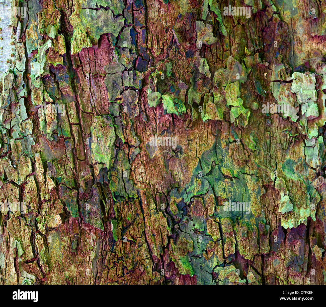Close up of apple tree bark as a interesting background - Stock Image