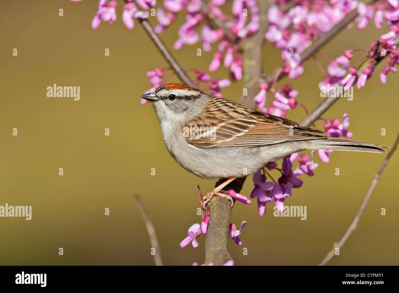 Chipping Sparrow, Spizella passerina - Stock Image