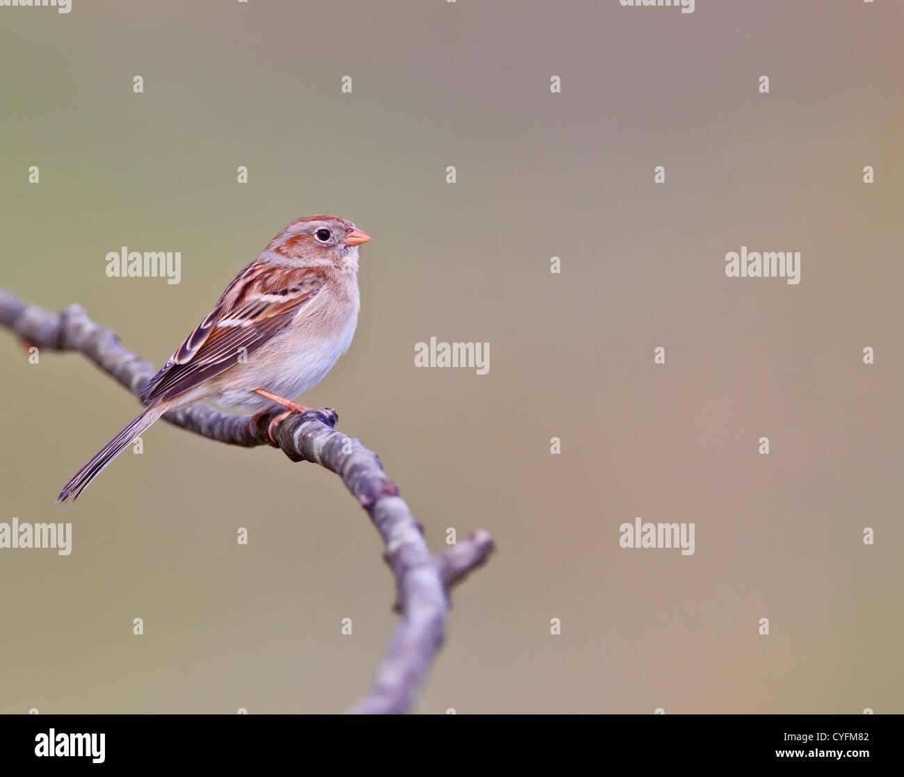Field Sparrow, Spizella pusilla - Stock Image