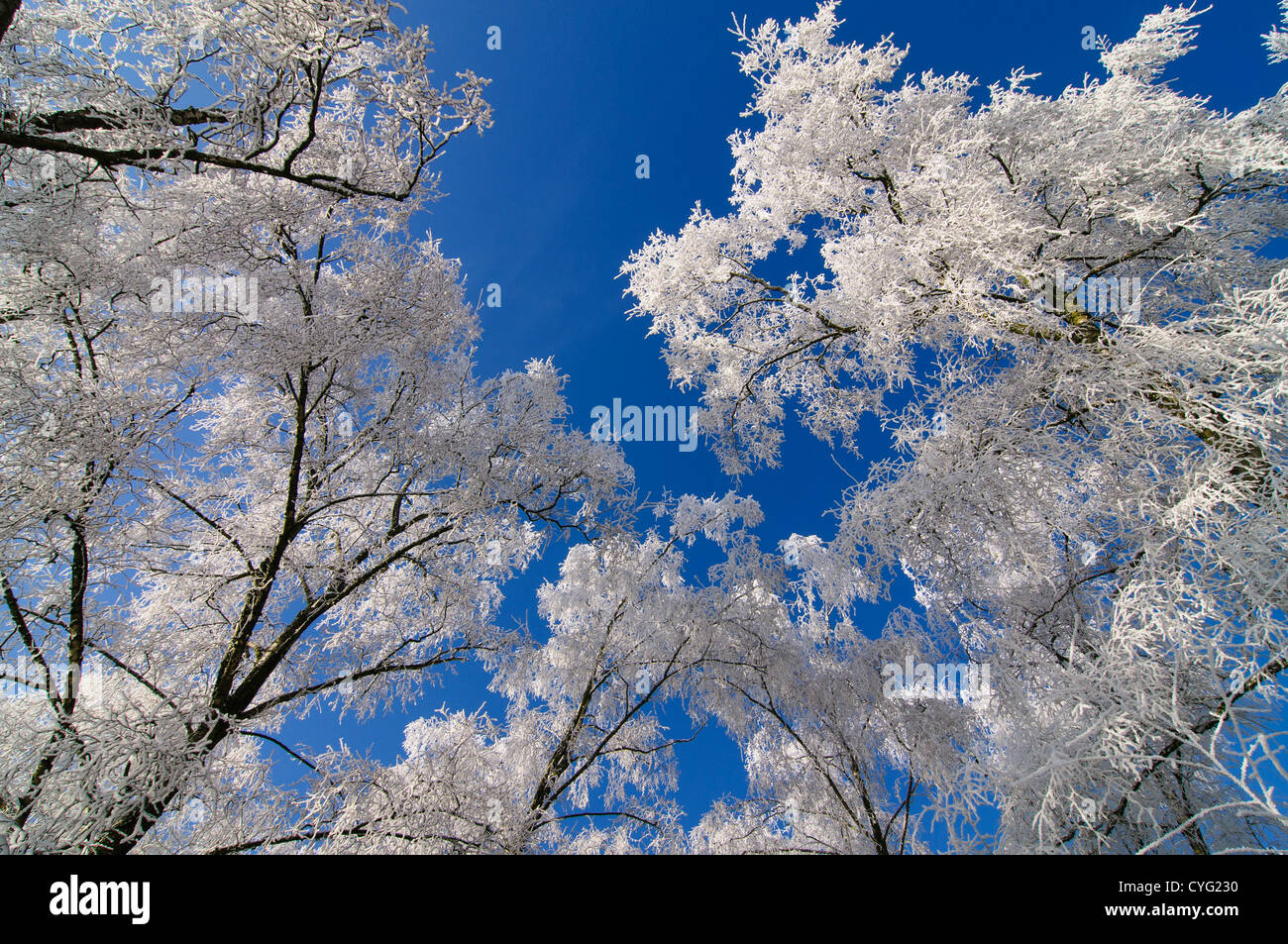 View from below birch trees covered in frost - Stock Image