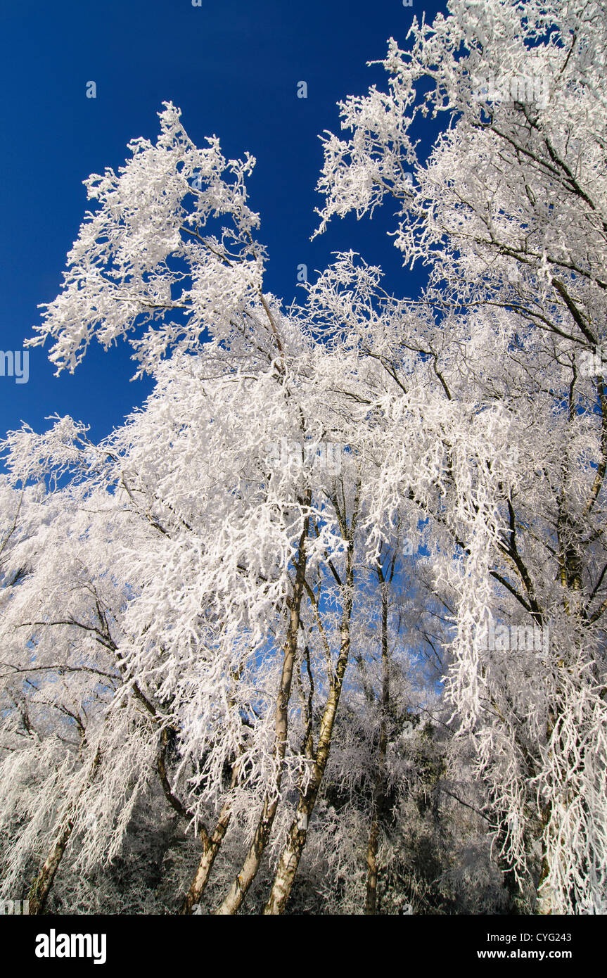 Birch trees covered in frost - Stock Image