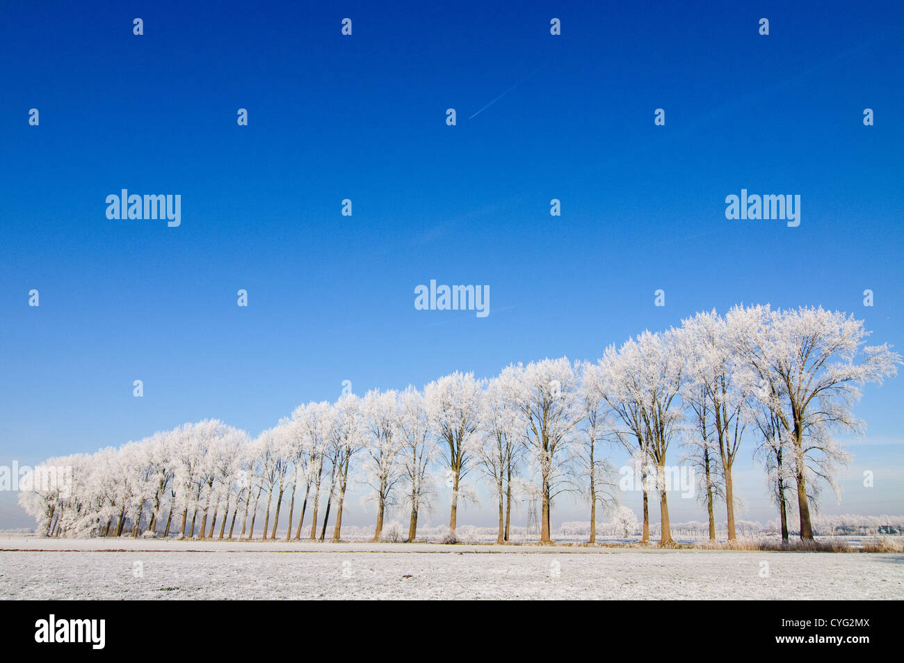 Winter landscape with a row of poplar trees covered in frost and a clear blue sky Stock Photo