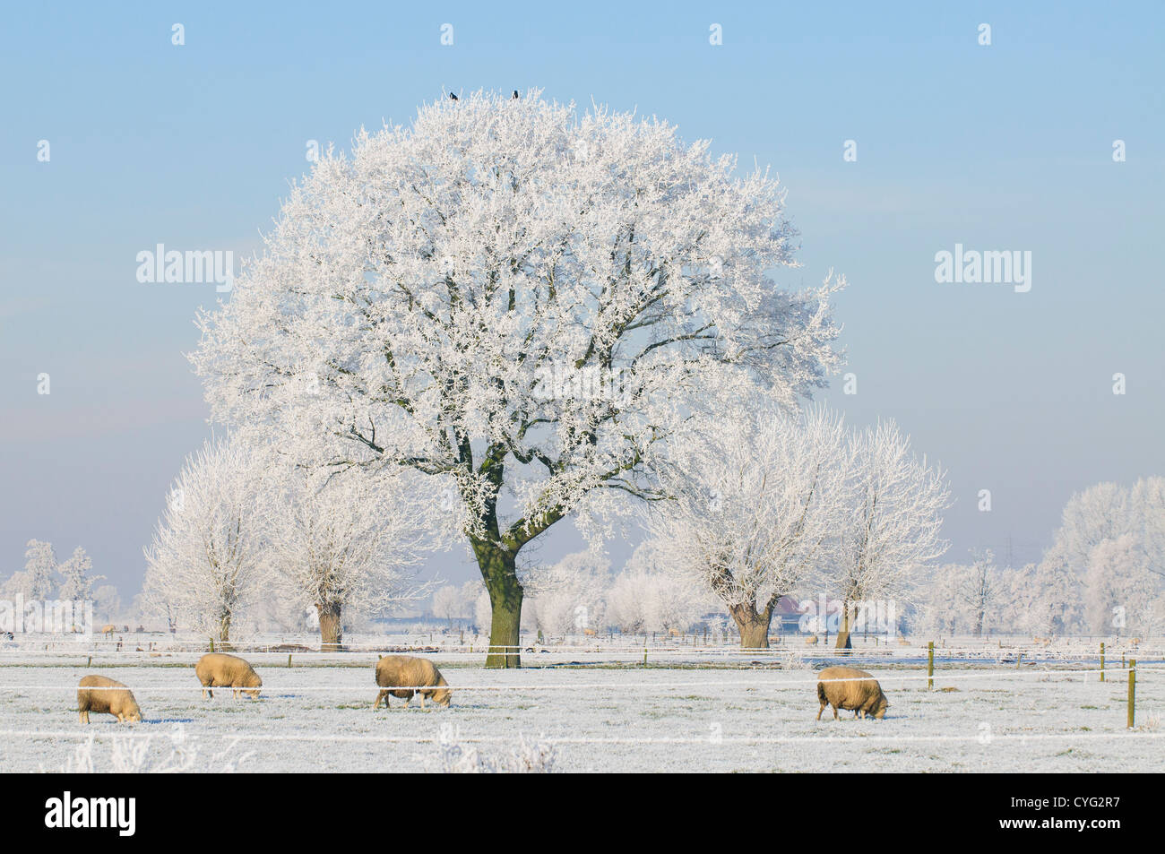 Winter landscape with a tree covered in frost and sheep in a field Stock Photo