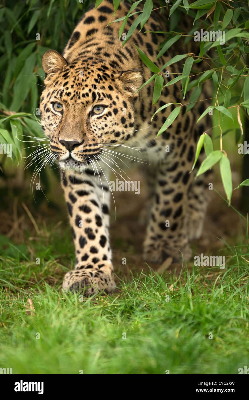 Amur Leopard Emerging From The Forest - Stock Image