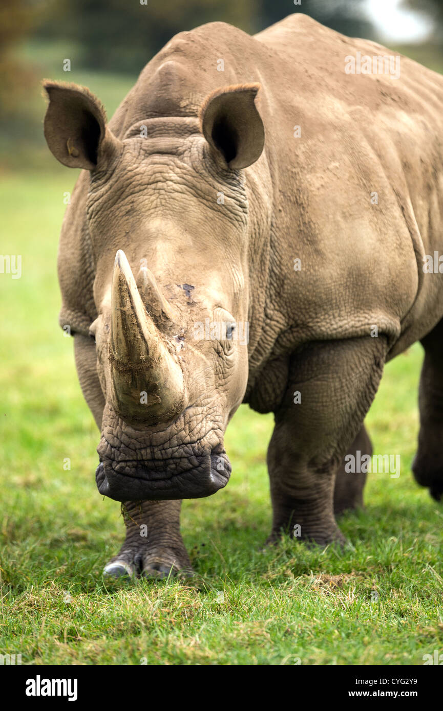Charging Rhino - Stock Image