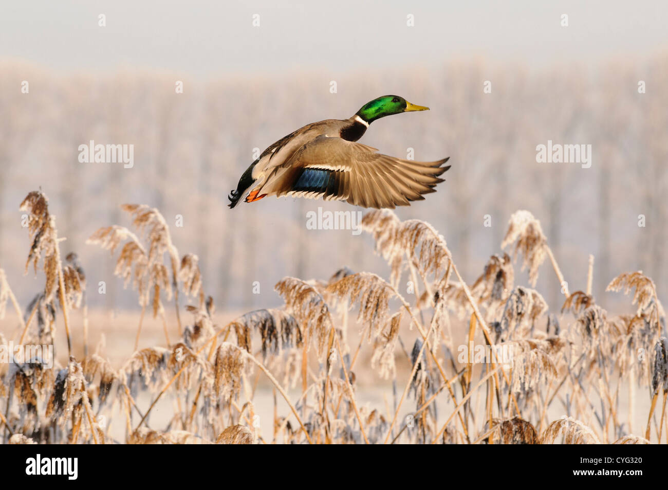 Beautiful mallard duck flying in front of a frosted reed bed - Stock Image