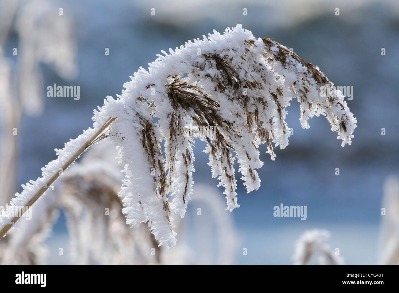 Common reed covered in frost - Stock Image