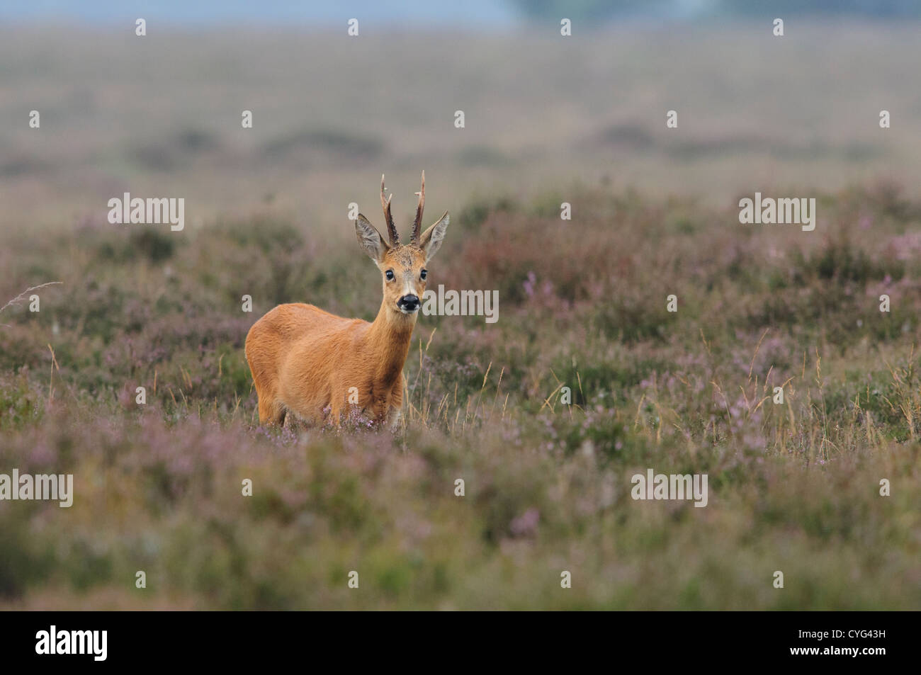 Roe deer male in a field of heather Stock Photo