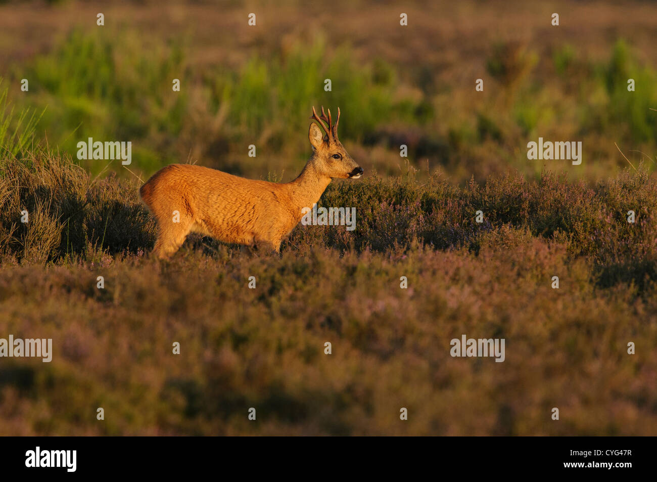 Roe deer in blooming heather Stock Photo