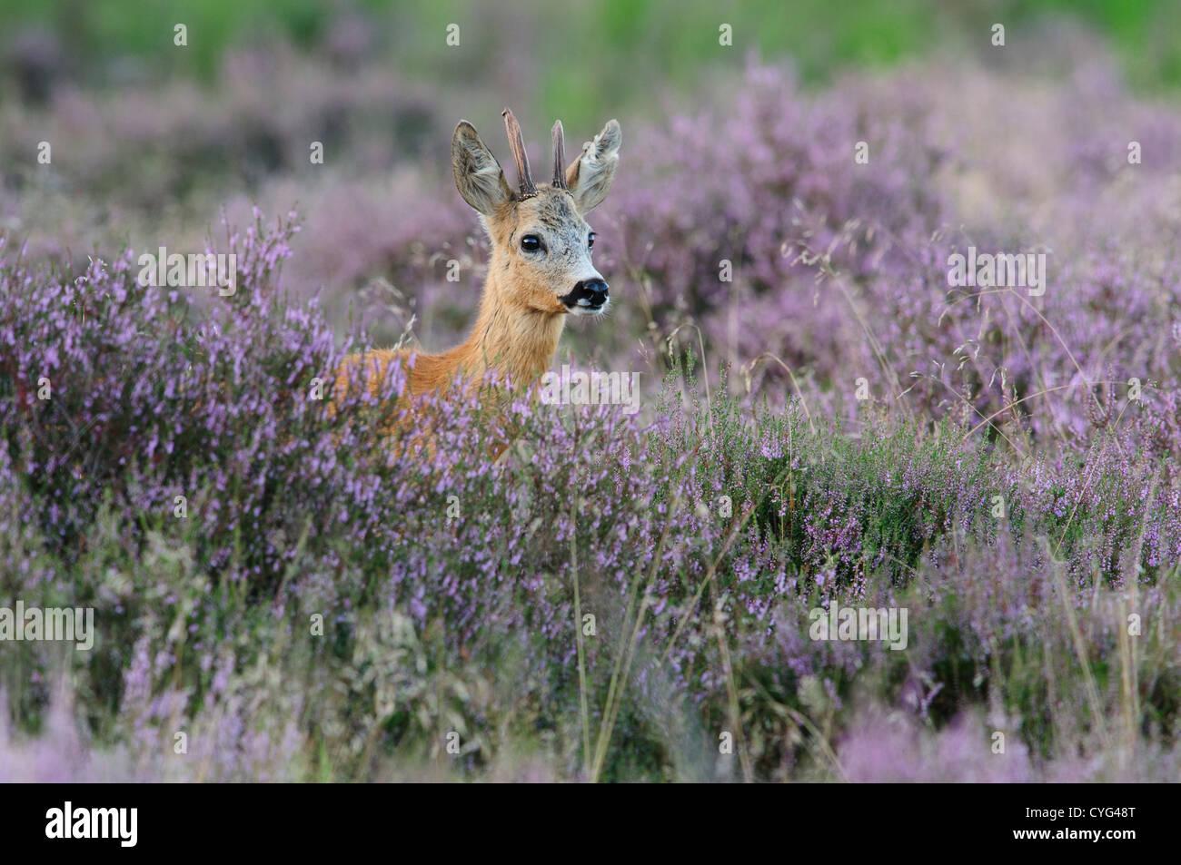 Roe deer in blooming heather - Stock Image