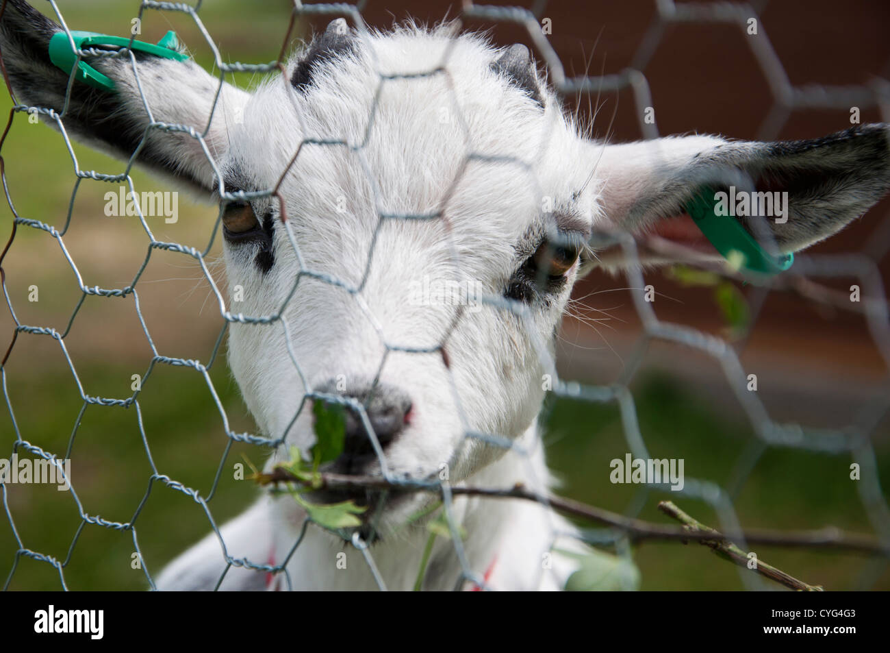 Kid eating foliage behind chicken wire fence Stock Photo: 51371267 ...