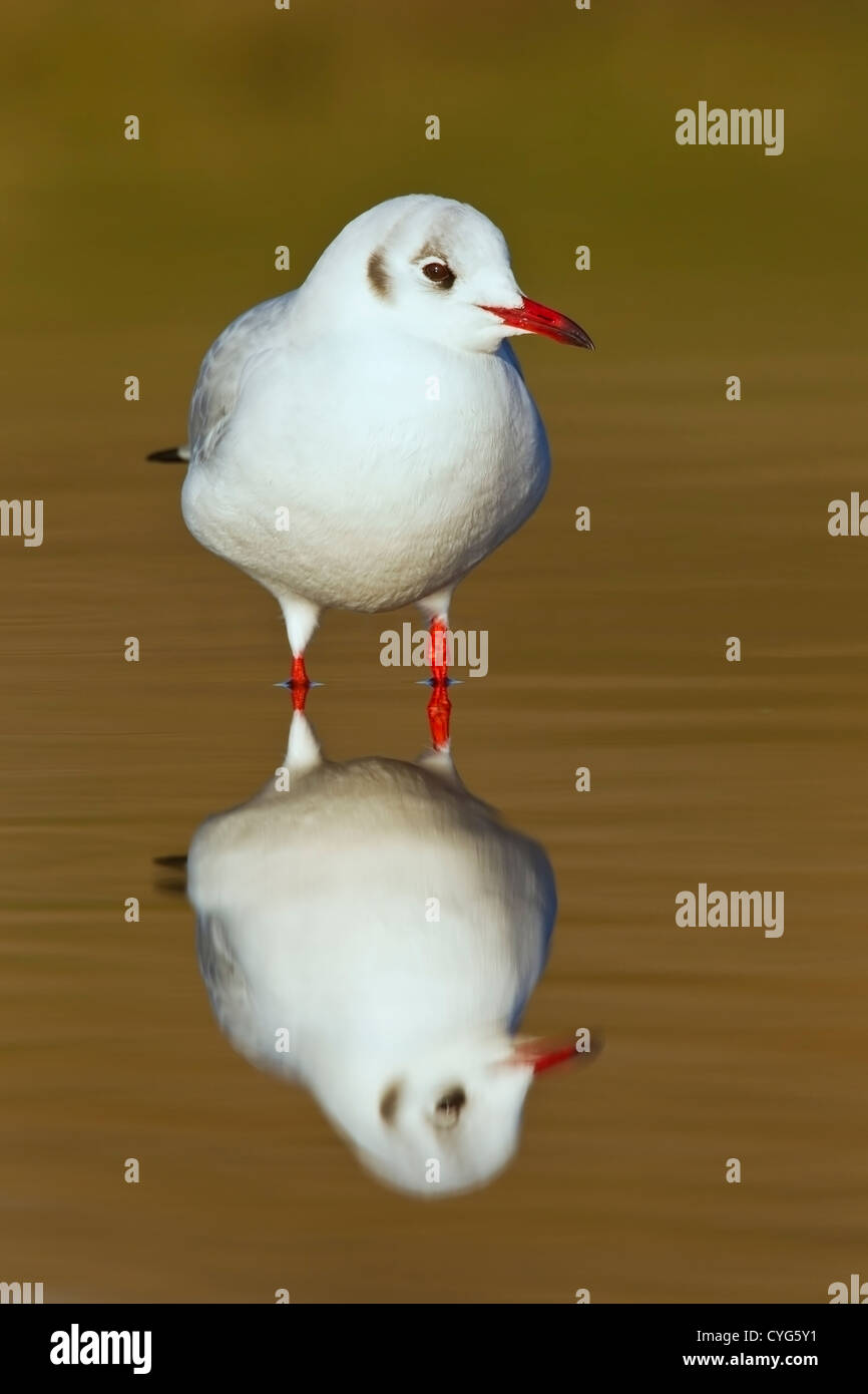 black-headed gull (Chroicocephalus ridibundus) standing in water with reflection, Salthouse, Norfolk, England, UK, - Stock Image