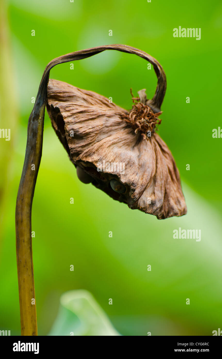Withered lotus - Stock Image