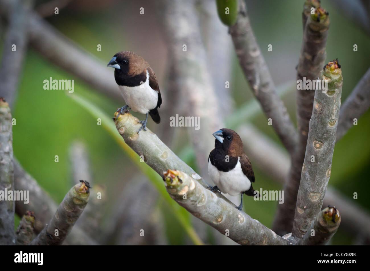 Javan Munia (Lonchura leucogastroides) - Stock Image