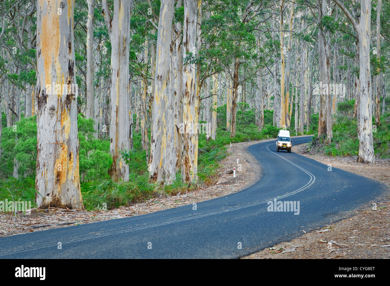 Road through the eucalypt forest of Boranup. - Stock Image
