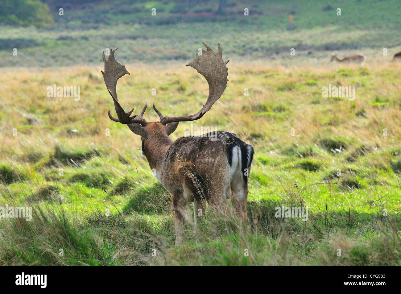 Fallow deer buck (dama dama) with a fine set of antlers keeping a watch on the does in his herd during the rut or - Stock Image