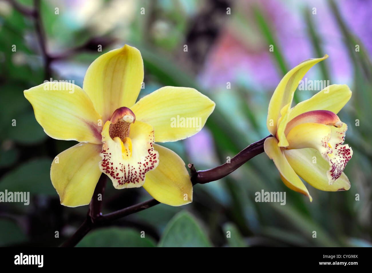 Cymbidium hybrid pink red yellow orchid flowers exotic asian flower cymbidium hybrid pink red yellow orchid flowers exotic asian flower blooming long time lasting mightylinksfo