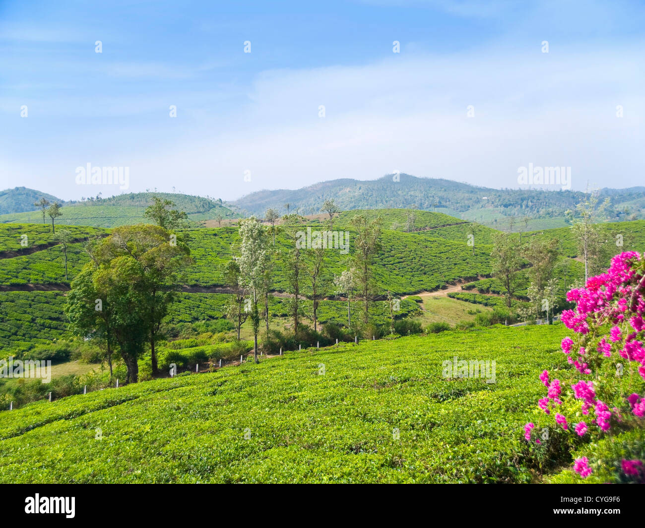 Horizontal view across the stunning tea plantation landscape in the high ranges of Idukki district, India. - Stock Image