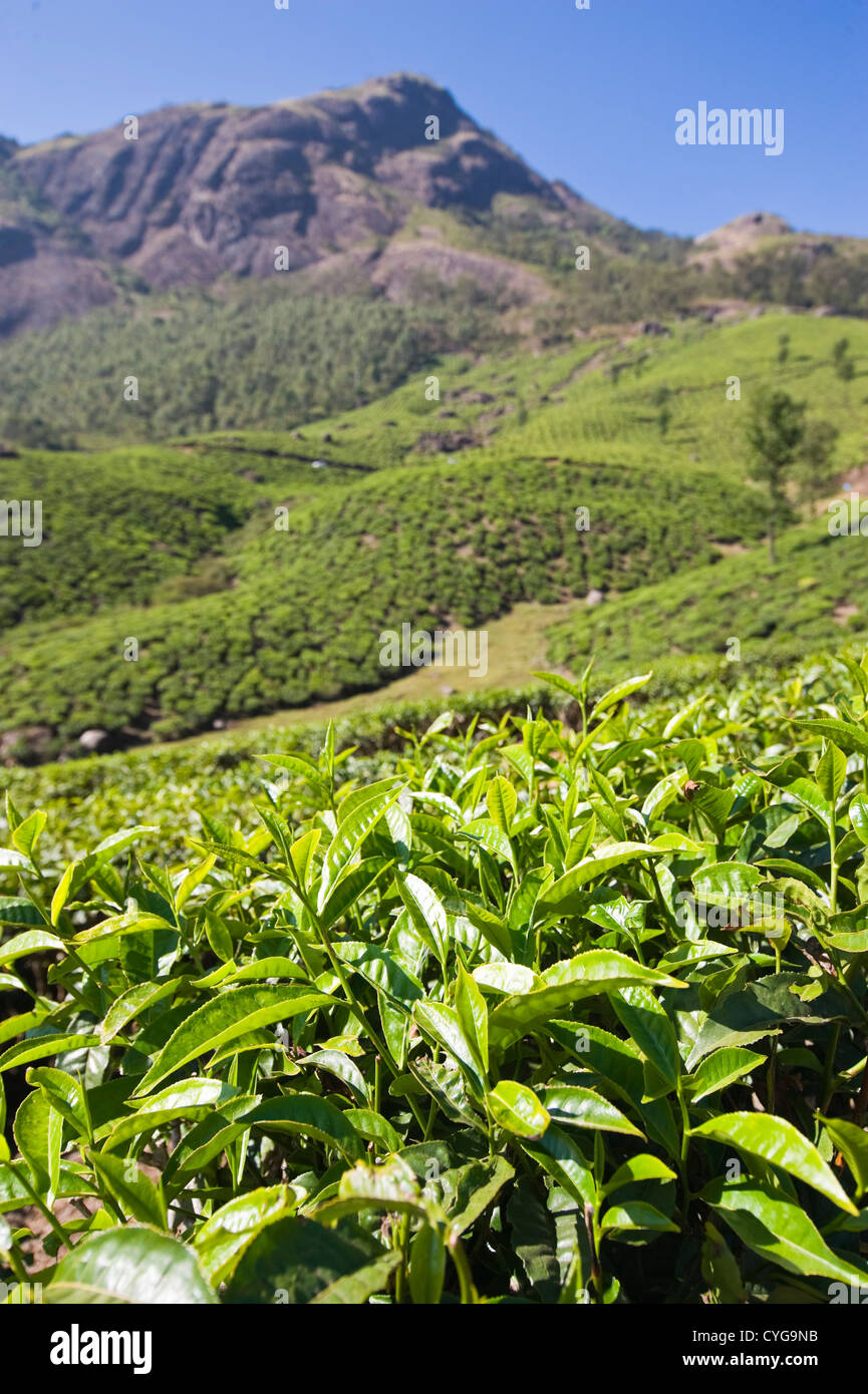 Vertical view of the stunning tea plantation landscape in the high ranges of Idukki District, India - Stock Image