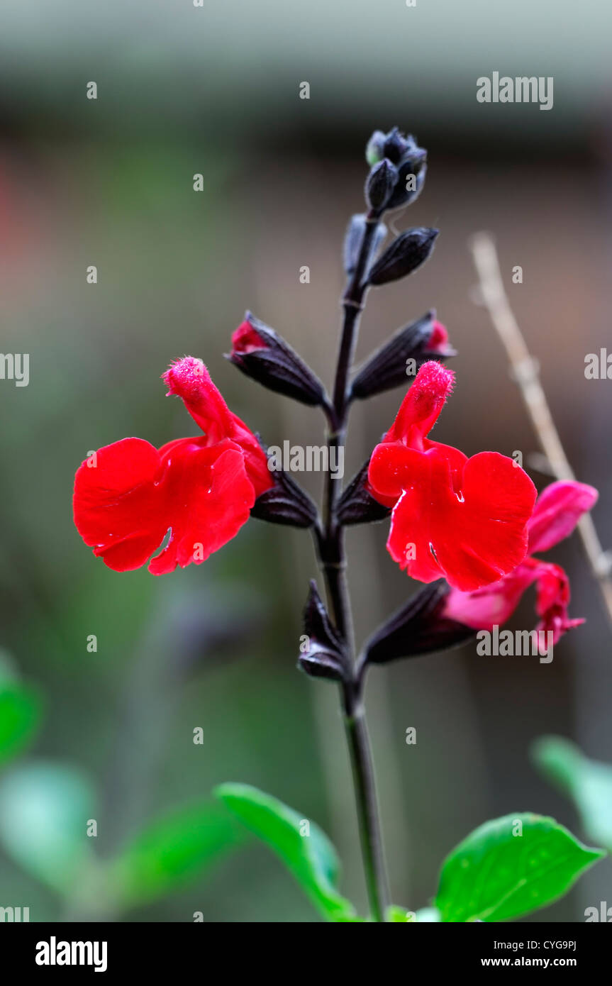 salvia microphylla cerro potosi red flower flowers autumn autumnal blooms  perennials salvias closeup selective - Stock Image