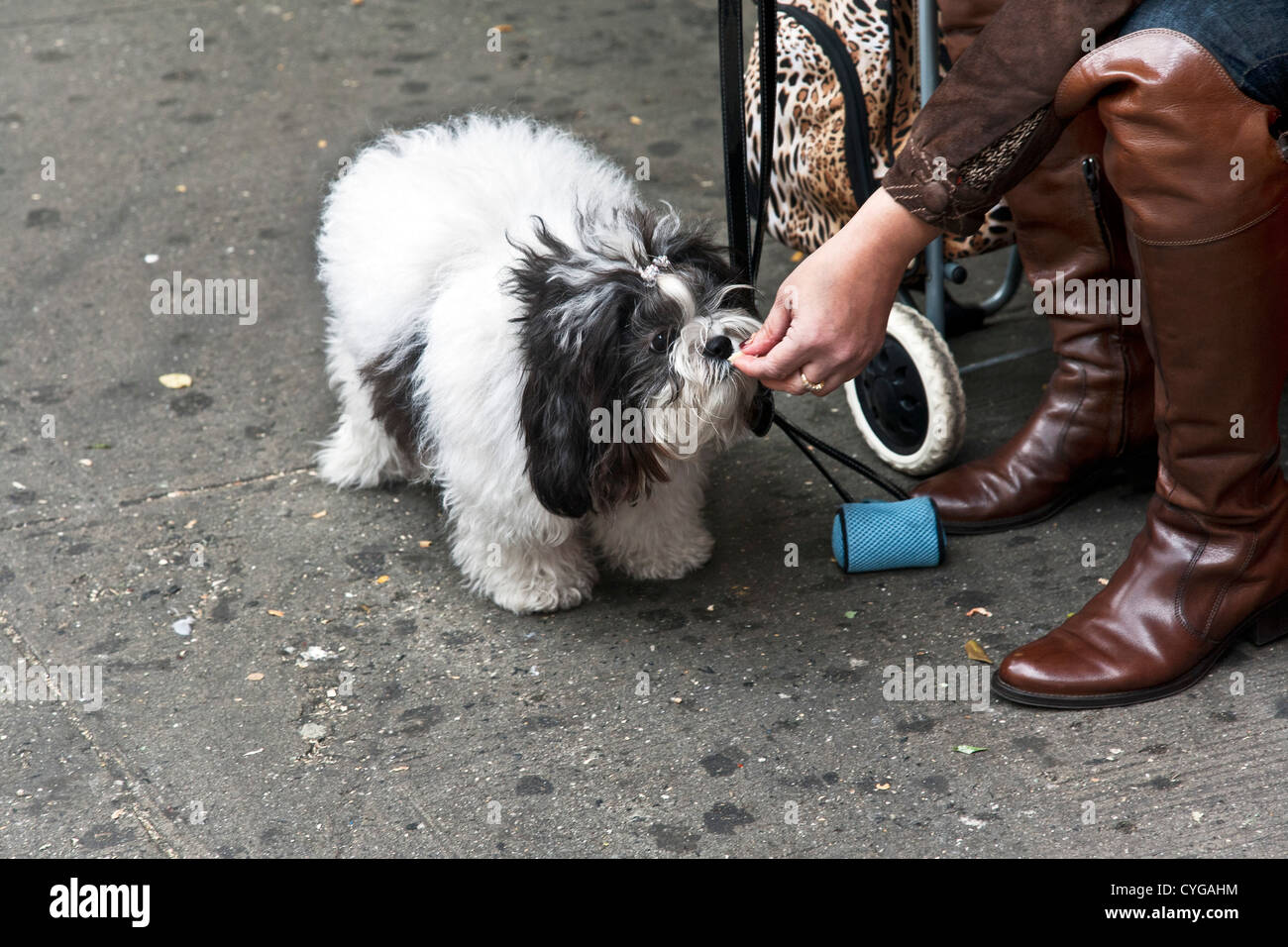 woman wearing expensive leather boots sitting on sidewalk feeds pizza morsel to her small fluffy black & white - Stock Image