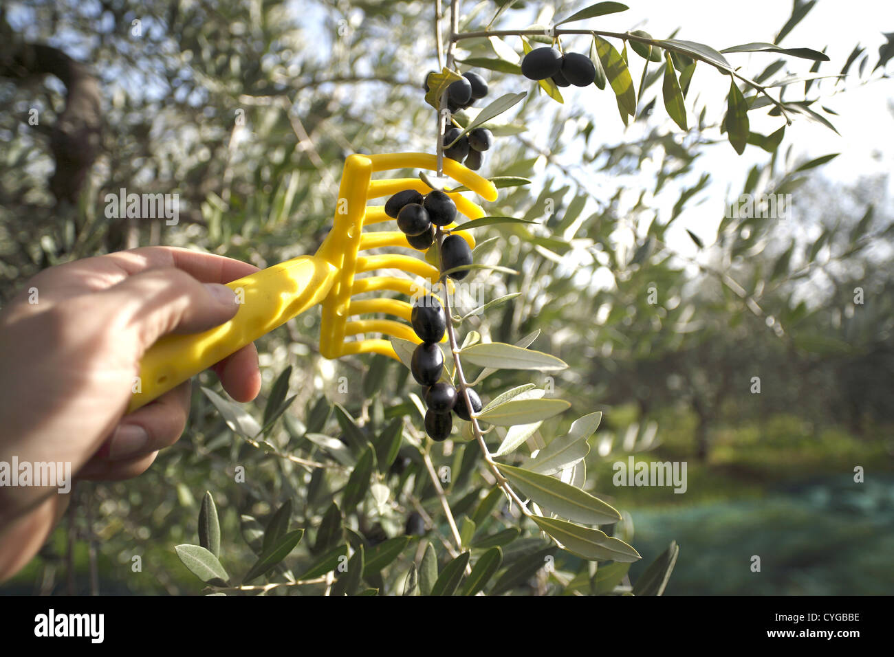 Olives being harvested using a comb in the Abruzzo region of Italy. - Stock Image