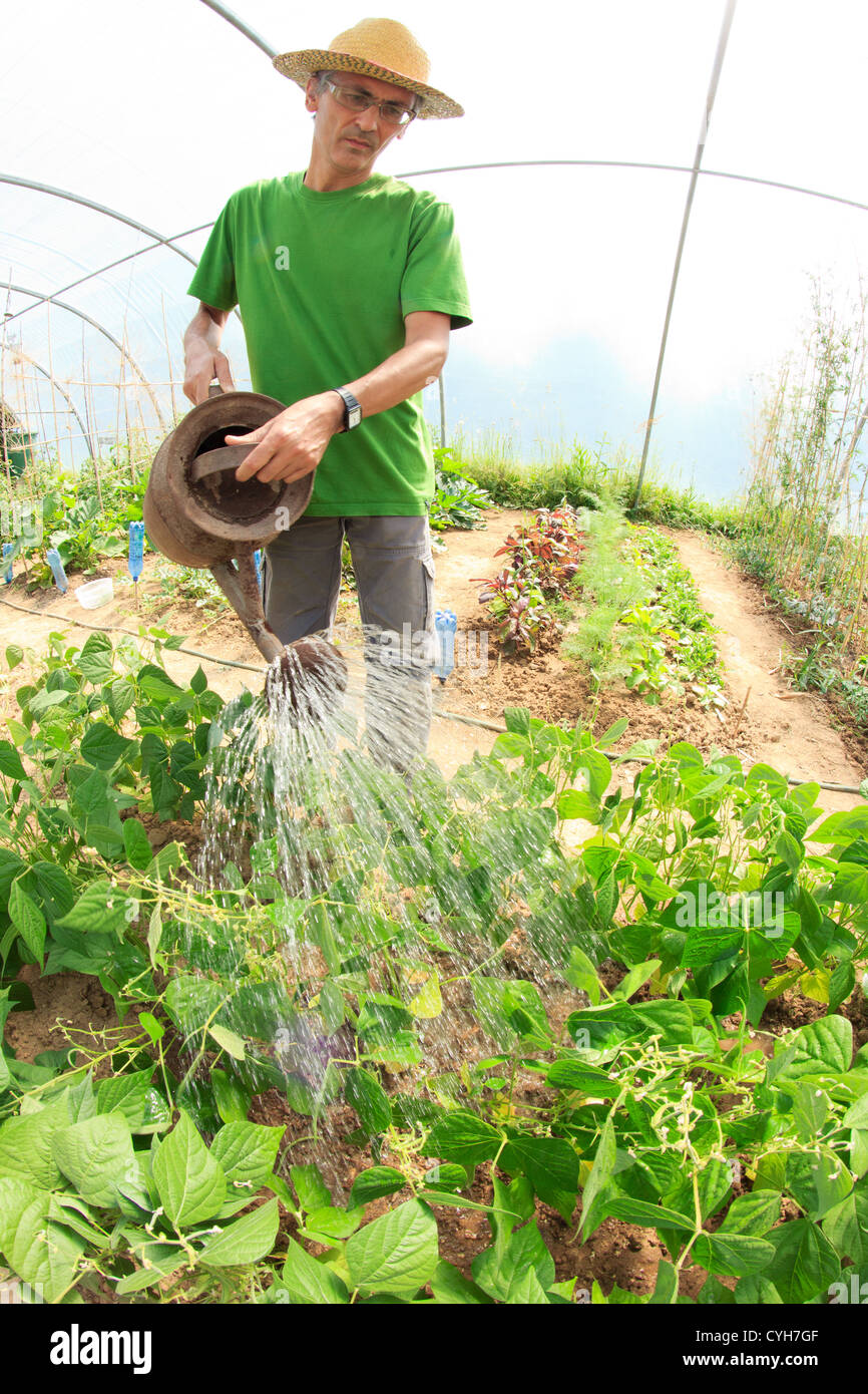 green beans watering in a kitchen garden under a hoophouse stock